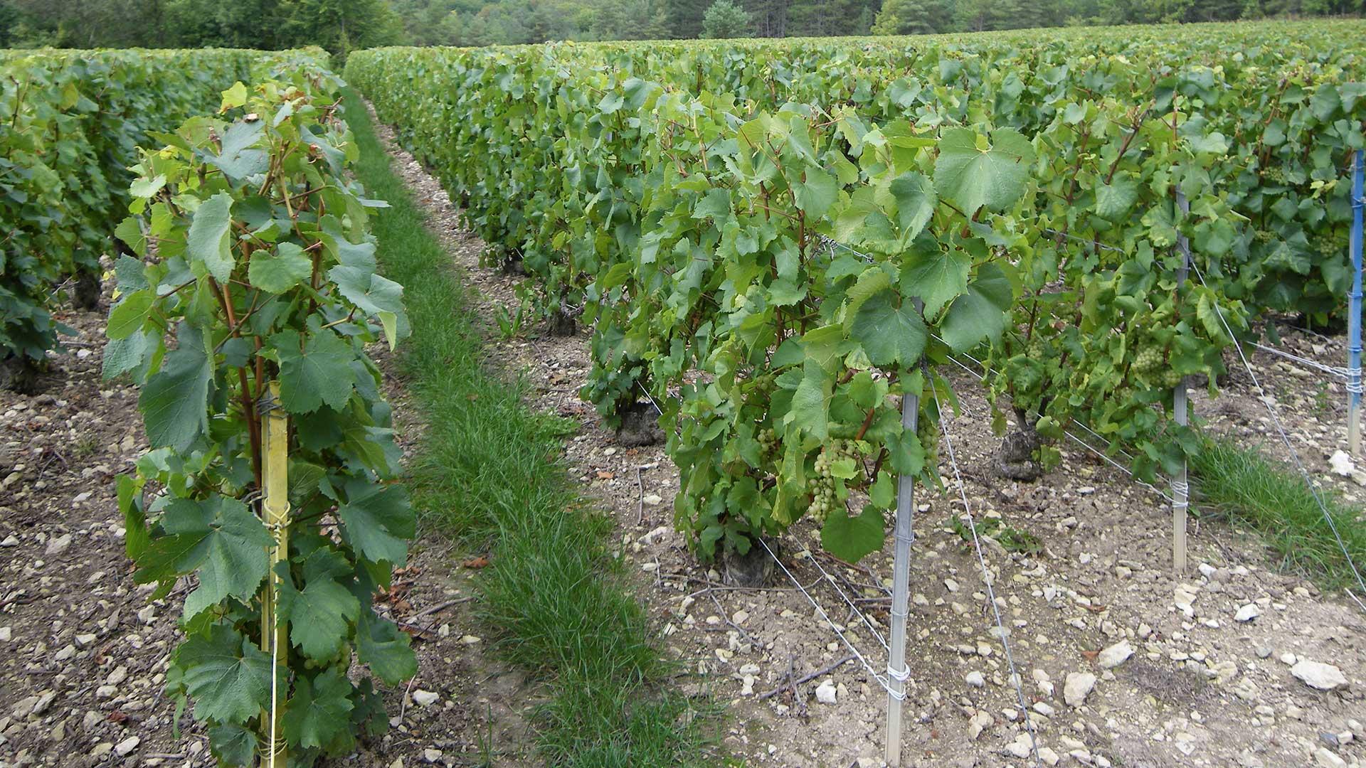 vigne-apres-rognage