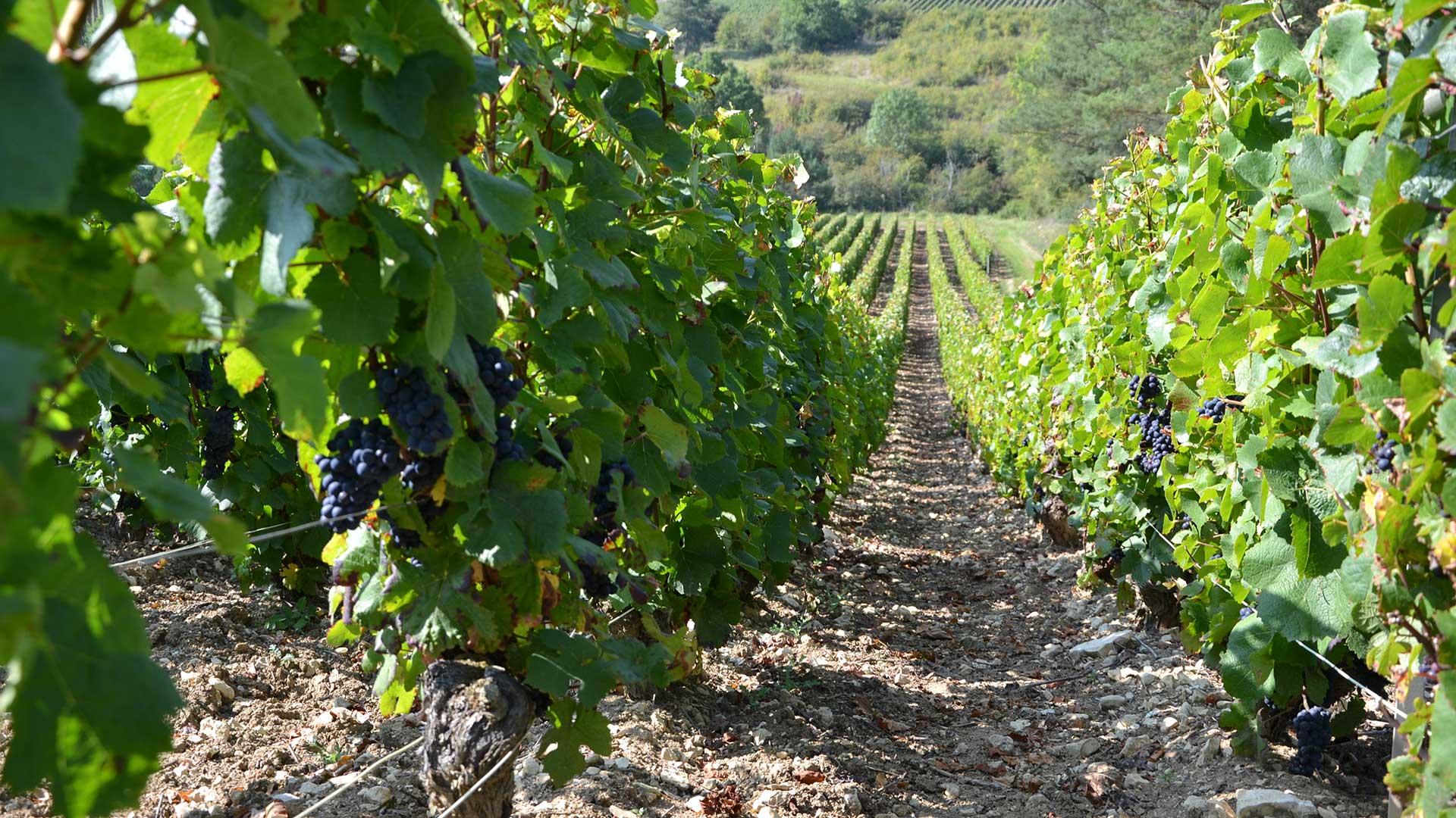 vigne-au-moment-des-vendanges