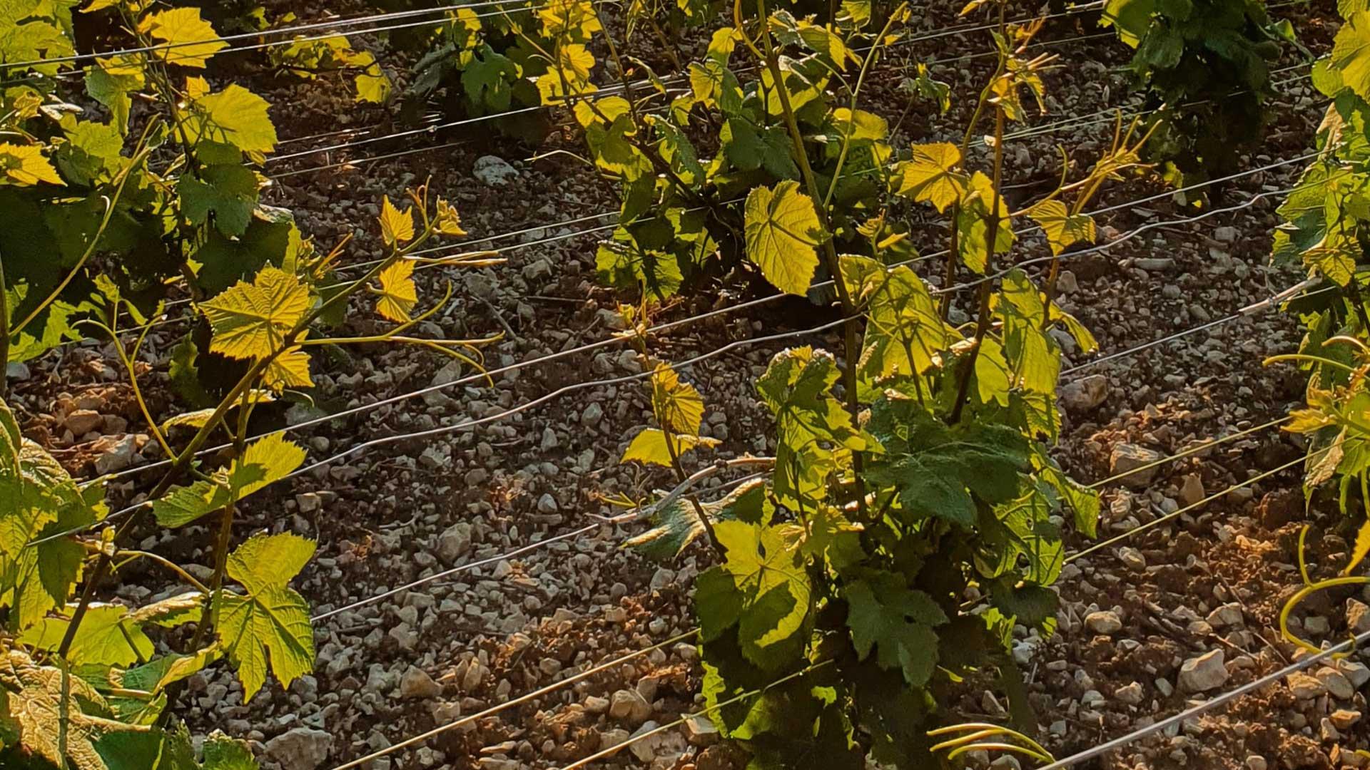 vigne-au-palissage